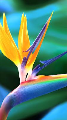 Papel de Parede Bird of Paradise / Ave do Paraíso - iPhone 4S / 4