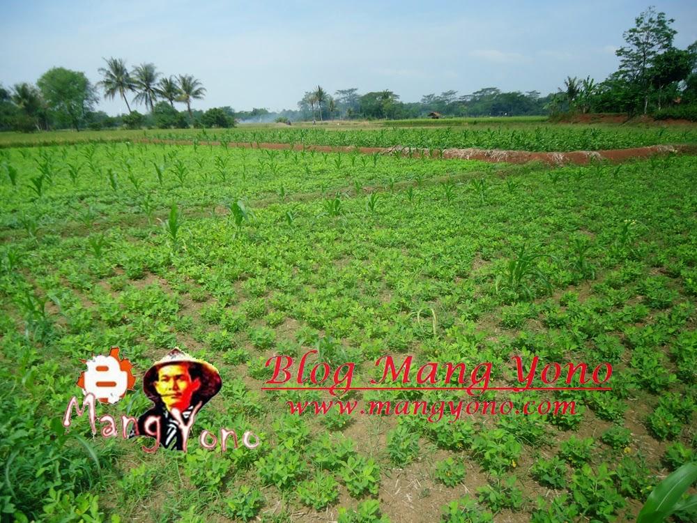 Tanaman Kacang Tanah dan Jagung. Kalau kacang tunggak ditanam disekelilingnya