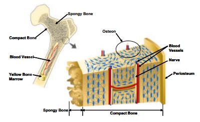 cortical bone – applecool, Human body