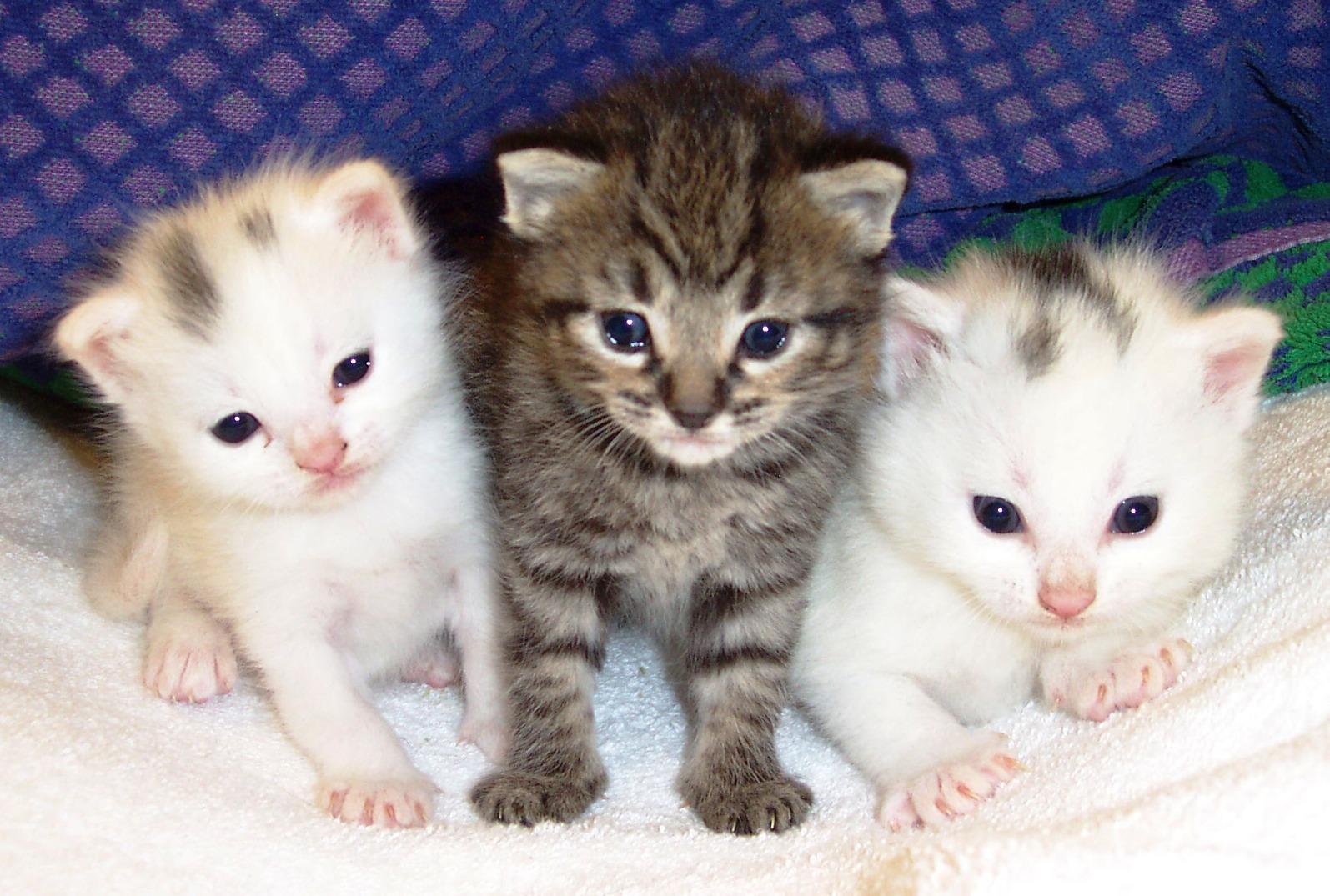 Gambar tiga anak kucing yang manis dan imut
