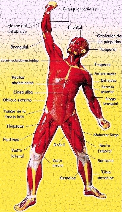 Imagen del Sistema muscular señalando sus partes