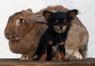 alice kelinci terbesar di dunia