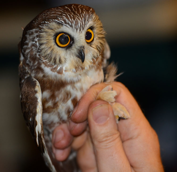 A very polite bird, the Northern Saw Whet Owl almost appears tame as Dr. Dave Russel lifts her up so we can see her.