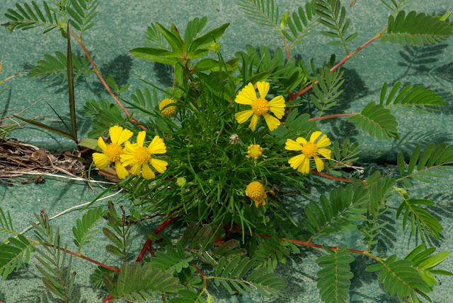 Helenium amarum - Spanish Daisy