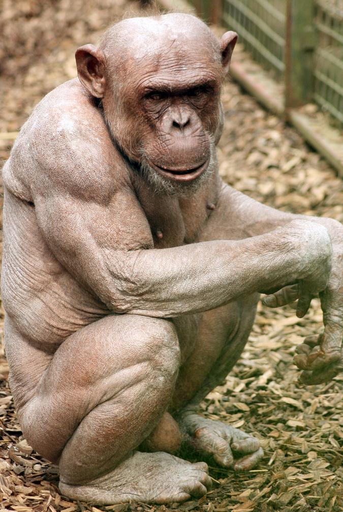 Es más fuerte una gorila hembra o el hombre más fuerte del mundo ...