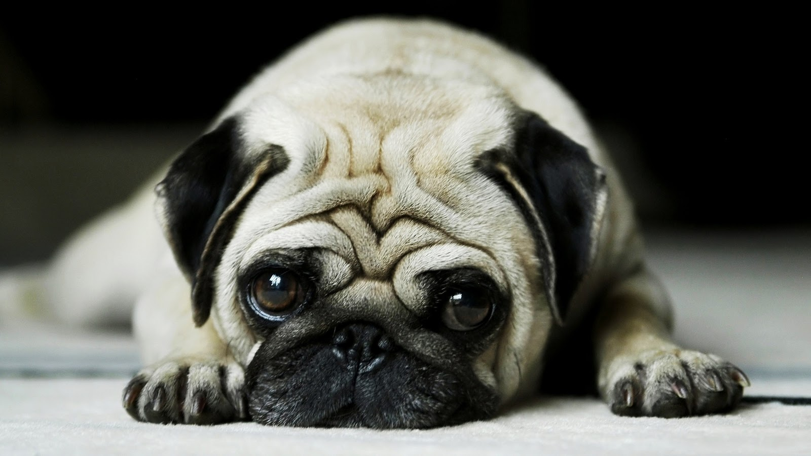 pug wallpapers