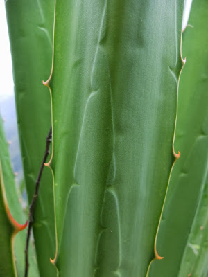 Patterns on Agave Leaves