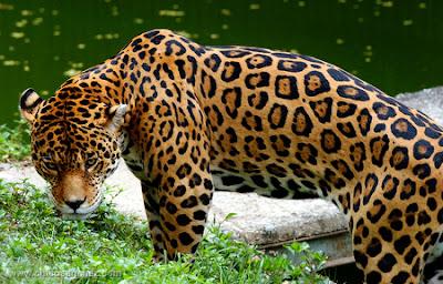 Chico Sanchez fotografía. El Jaguar y la extinción de las reservas naturales