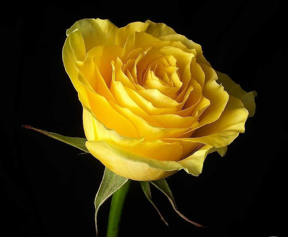 Rose Red Rose White Rose Yellow Rose Blue Rose Others List