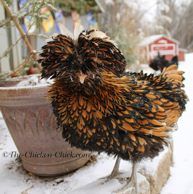 Ally McBeak is a Tolbunt Polish Frizzle and while Frizzles are not typically thought of as cold-hardy, she does brilliantly in the cold since her comb and wattles are protected by feathers.