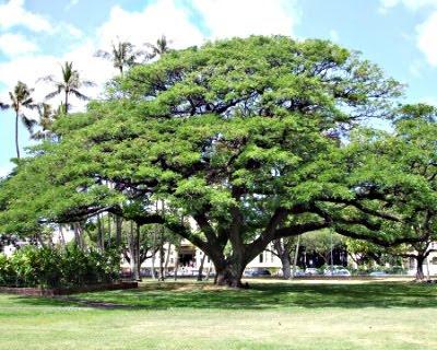 samanea saman Pohon Trembesi Ki Hujan