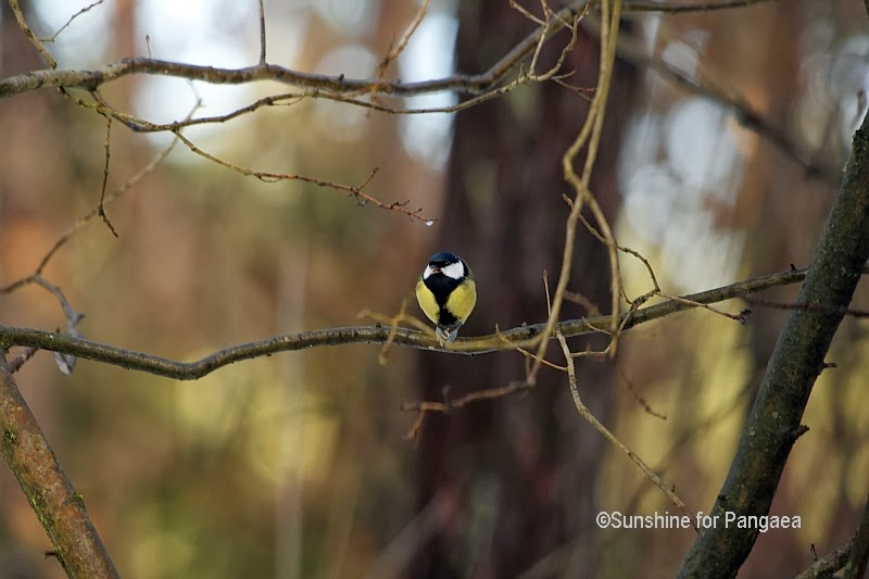 Great Tit forest