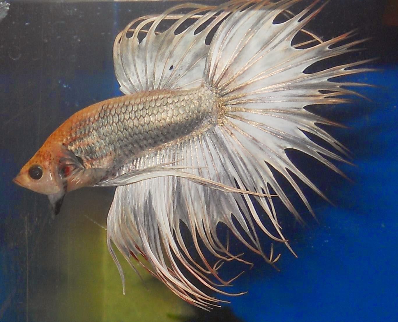 Jenis Warna Copper Ikan Cupang