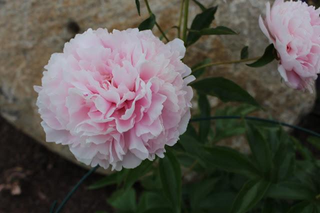 Pink Peonies Photo