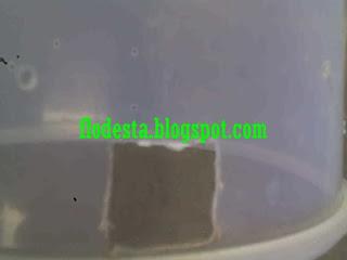 lubang toples sarang semut rangrang bawah