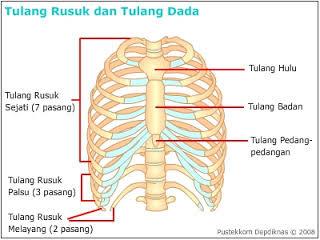 anatomi sternum