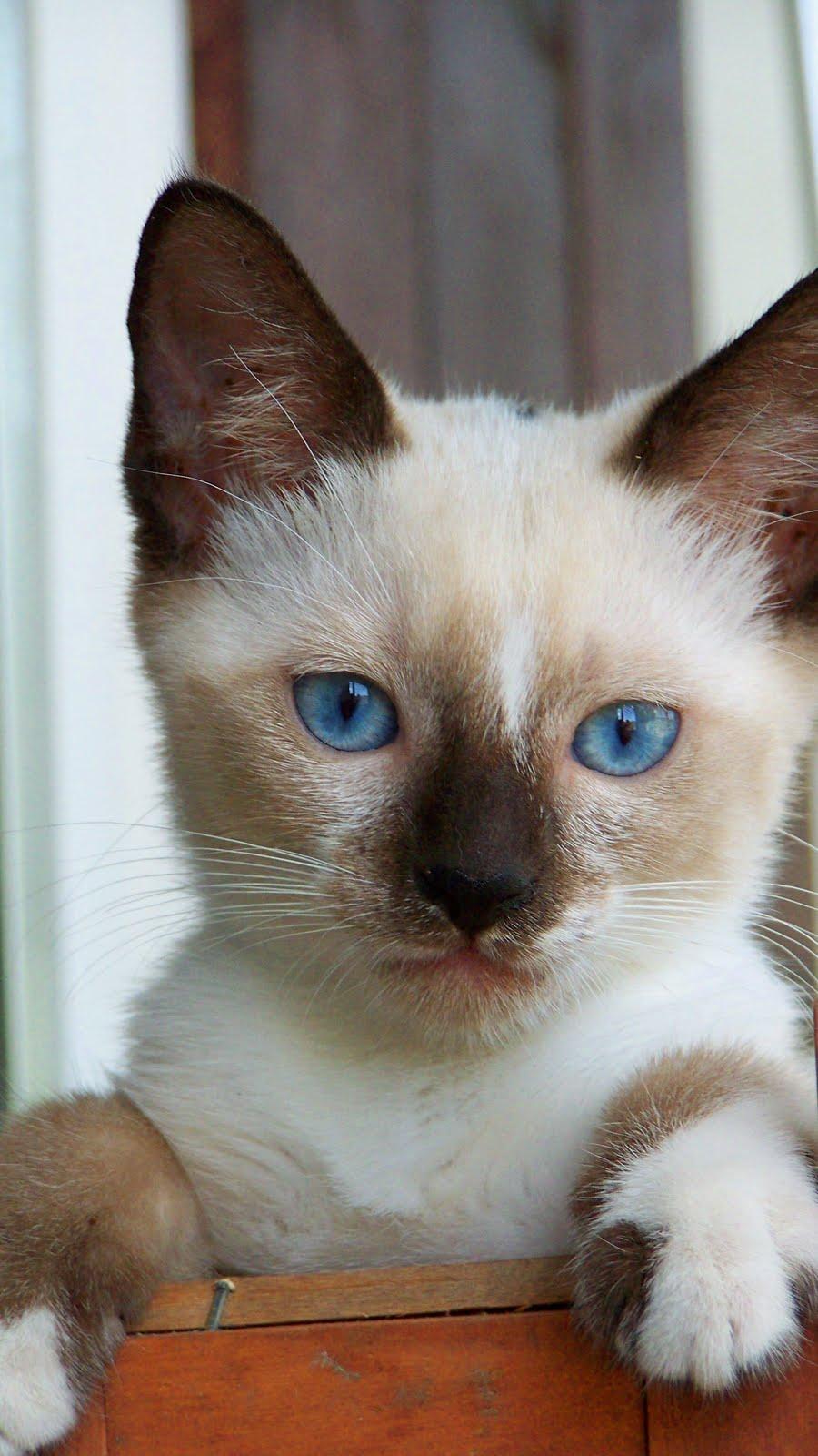 Snowshoe Cat Breed Cat Lover