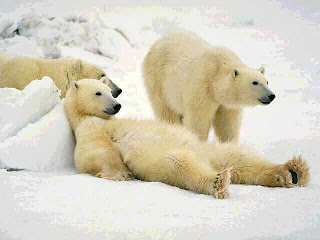 polar bear cute wild animal wallpaper