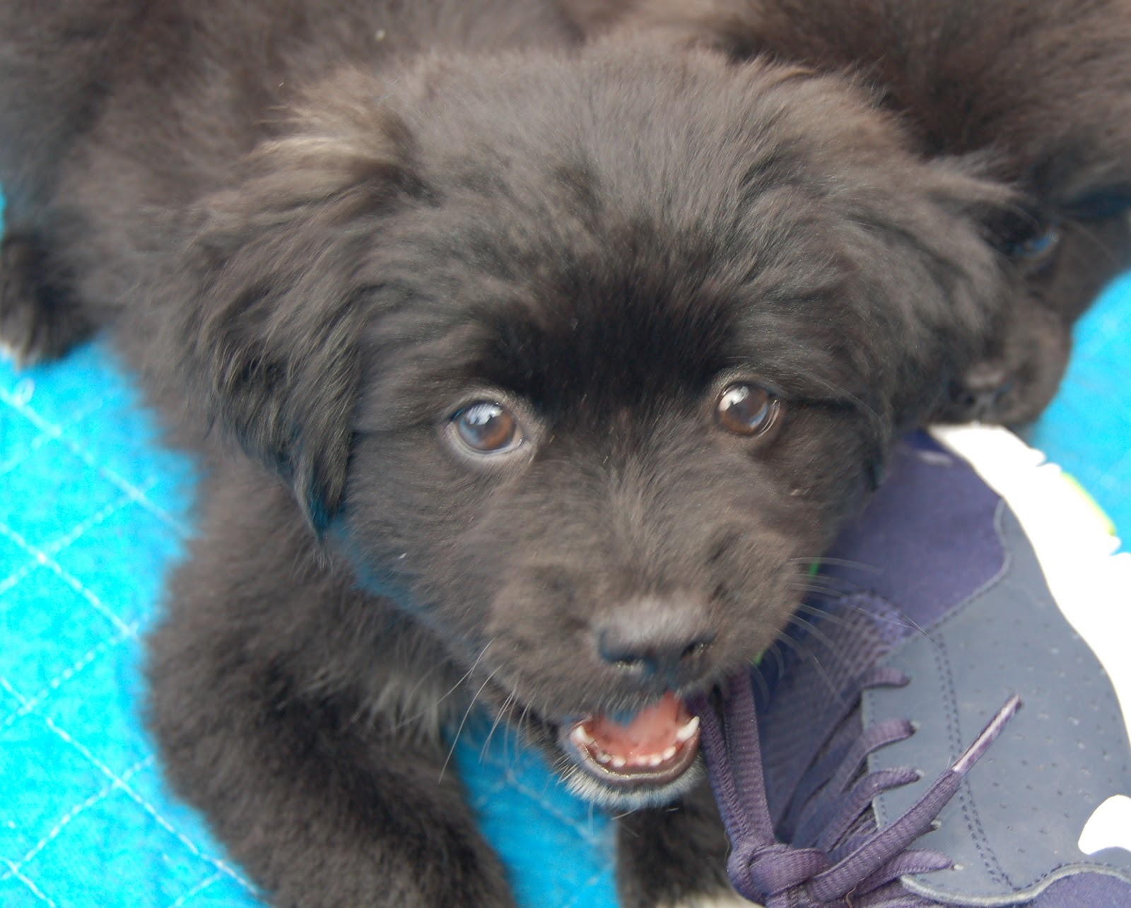 Madalins Used Dogs Rescue How These Schipperkepom Mix Puppies