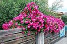 12 Fotografías de rosales trepadores y de mata baja