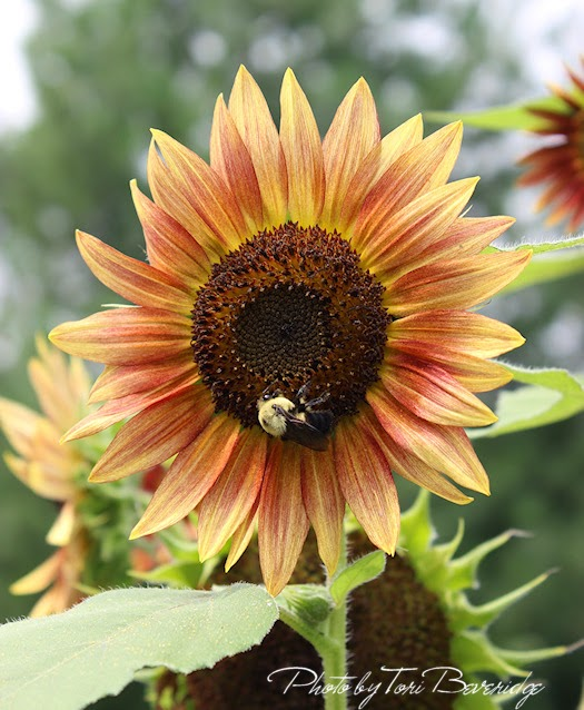 Sunflower Photo by Tori Beveridge