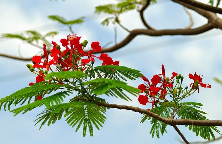 ảnh hoa phượng đỏ hd