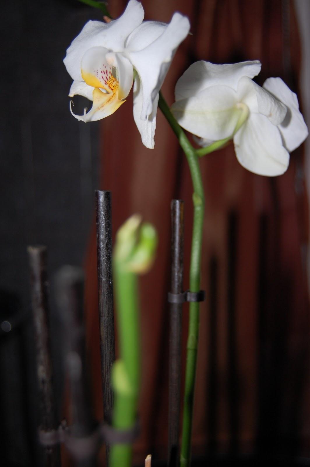 mon blog parmi tant d 39 autres lechatmorpheus je me suis prise de passion pour les orchid es. Black Bedroom Furniture Sets. Home Design Ideas