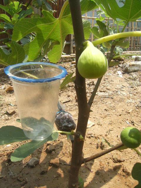 buah tin dan zaitun