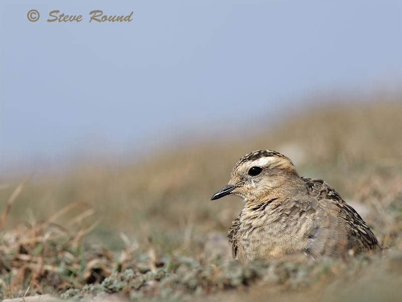 Dotterel, Bird