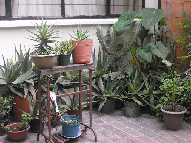 savila plant planta garden apartment cacti cactus