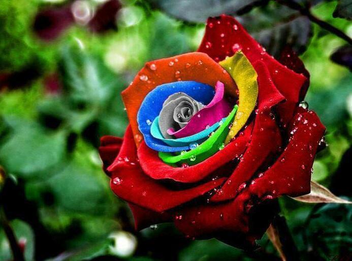 Pavan mickey rainbow rose for Rainbow dyed roses