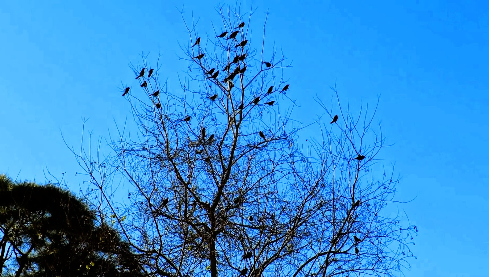 Flock Of Grackles Takes Off