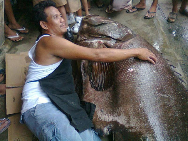 Gigantic Grouper Caught In The Philippines