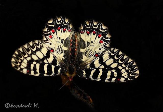 Güneyli fisto kanat üstü fotoğrafı