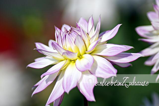 Makroaufnahme Blüte einer Dahlie