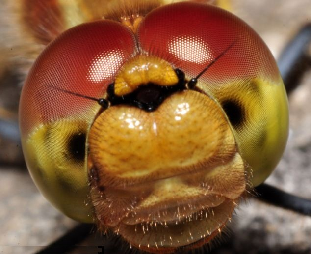 Macro Photography of Insects Eyes Seen On www.coolpicturegallery.us