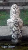 Tigre  - Bioparc Fuengirola