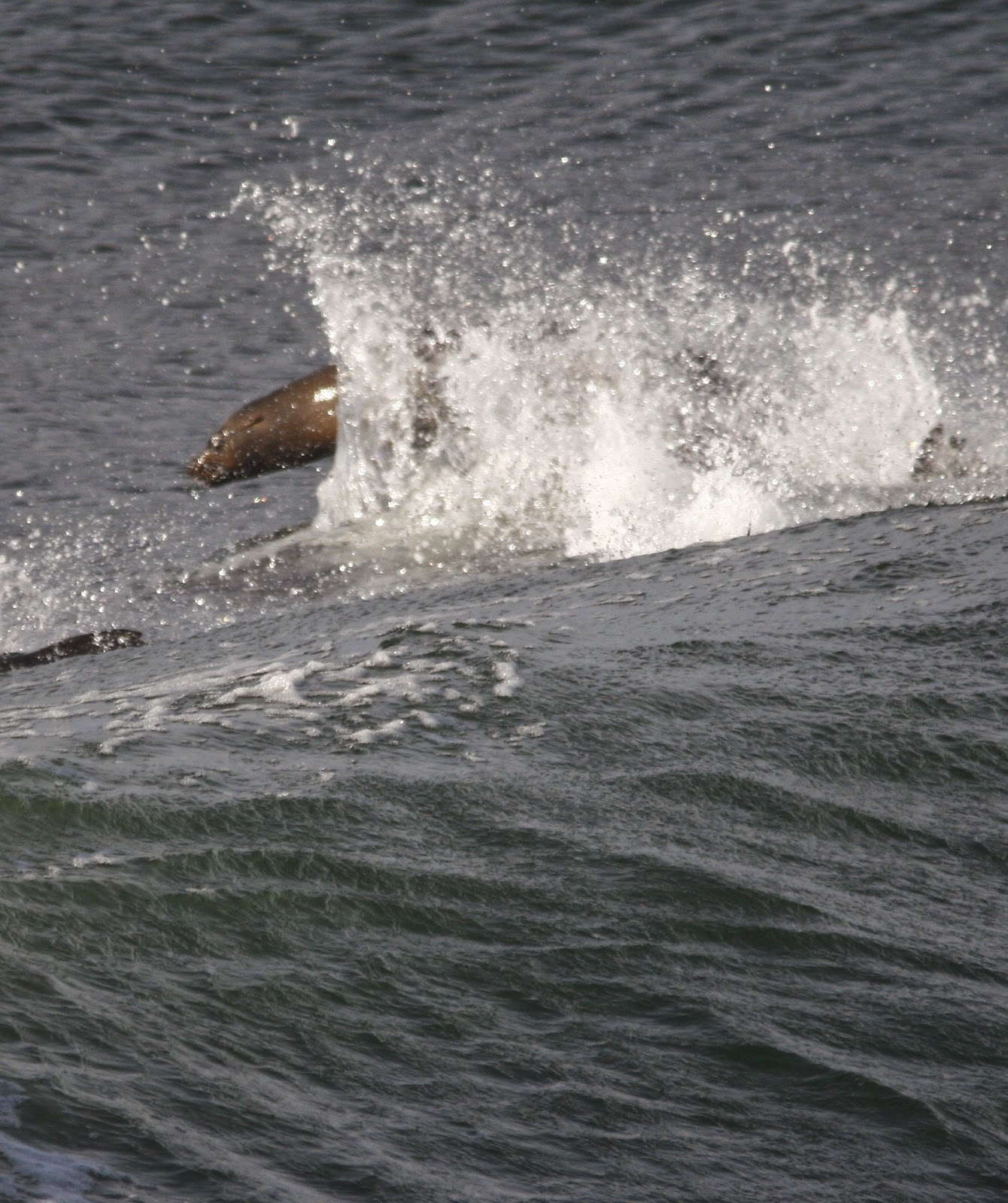 A Close Up Showing The Snout And I Think You Can See Why Sea Lions Are Eared Seals