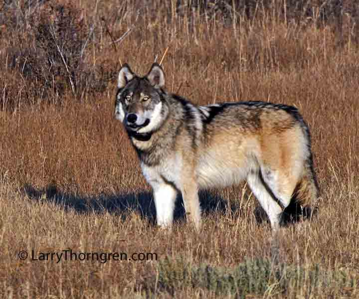 The wild photographer idaho fish and game to shoot 50 wolves for Idaho dept of fish and game