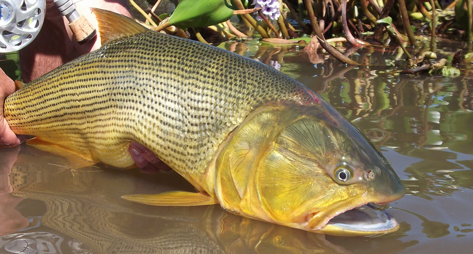First cast fly fishing fly fishing argentina golden for Golden dorado fish