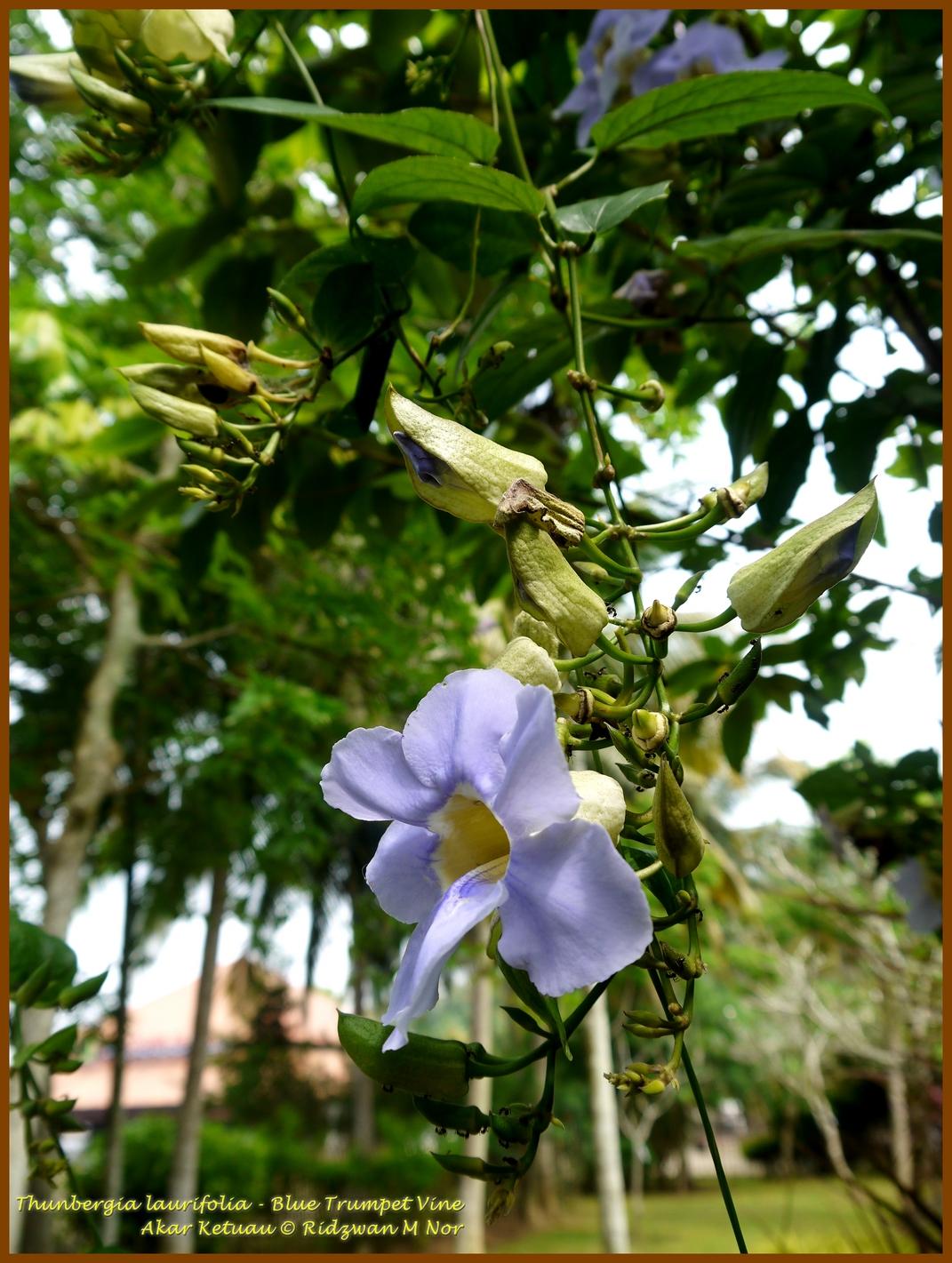 Thunbergia Laurifolia Akar Ketuau Blue Trumpet Vine Blue Sky Vine