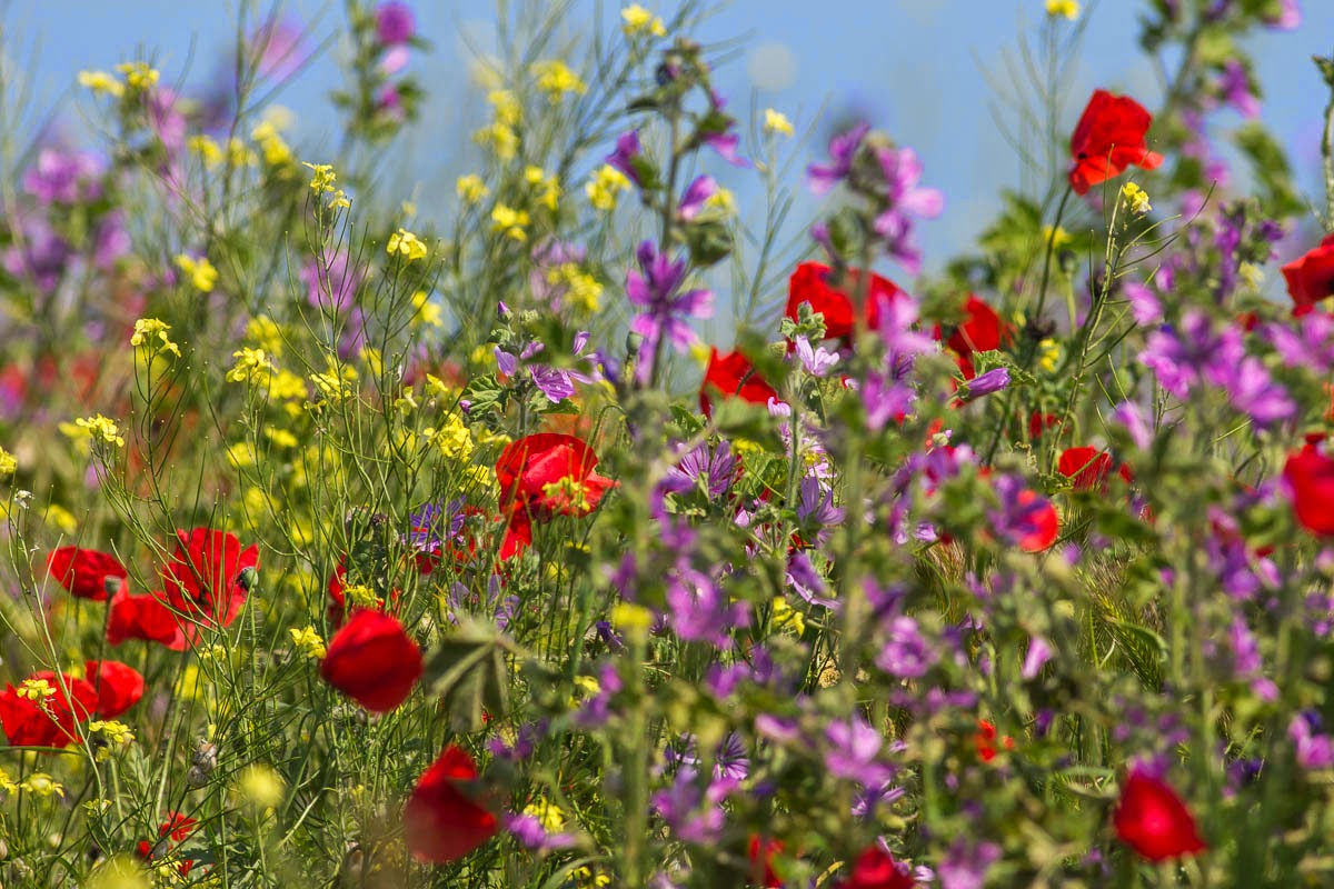Spring flowers in Bulgaria, copyright Iordan Hristov