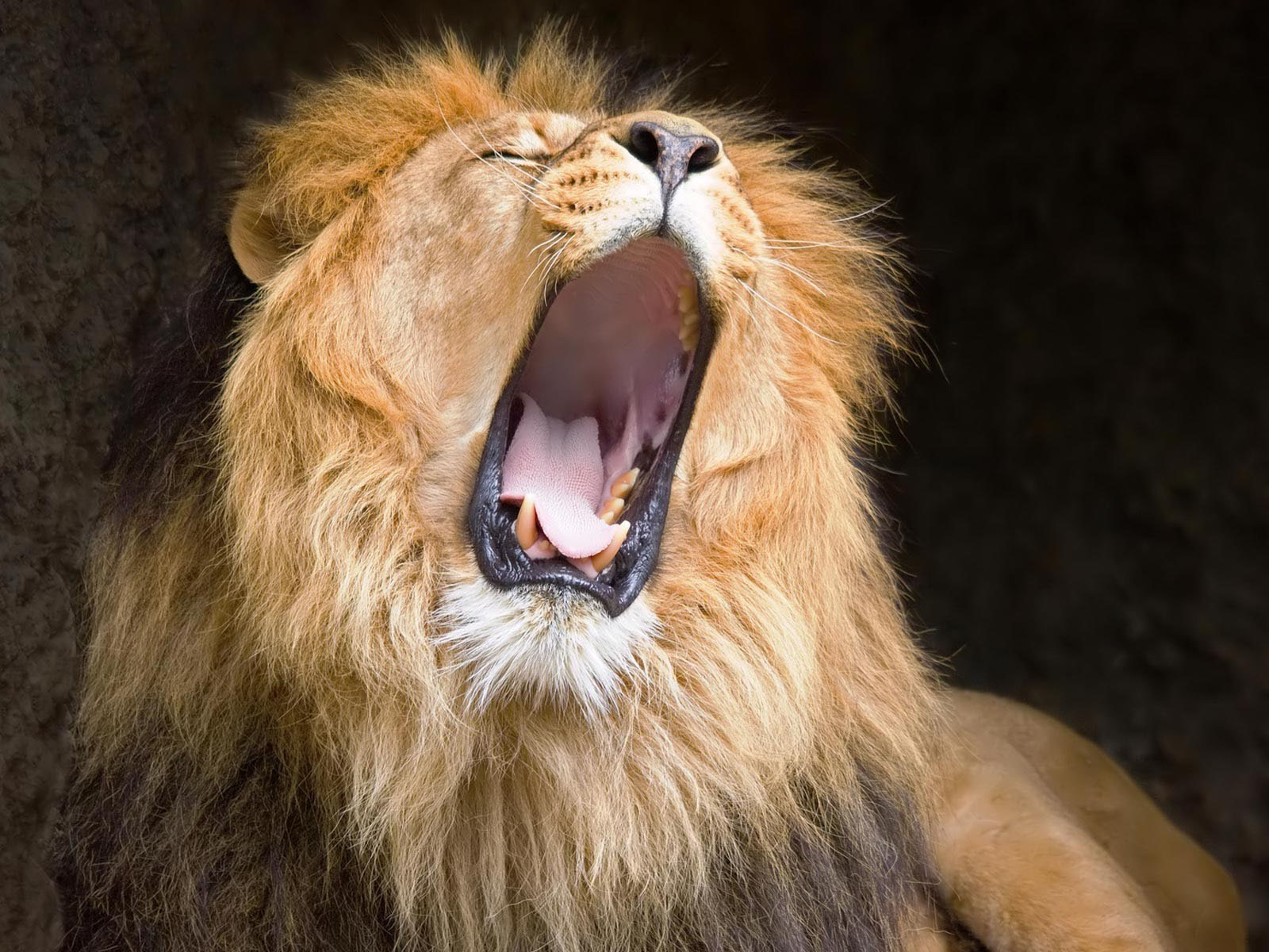 wallpaper: Lion Roaring Wallpapers - photo#24