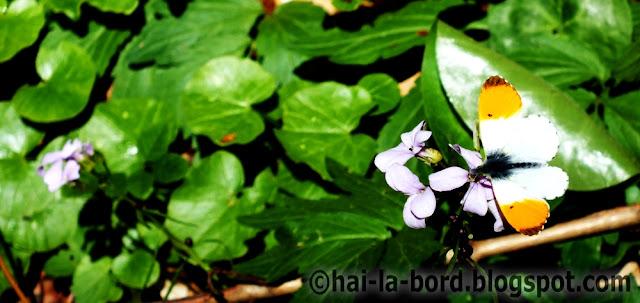 fluture baile herculane