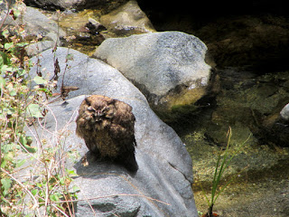 Owl on Fish Canyon Trail, Angeles National Forest
