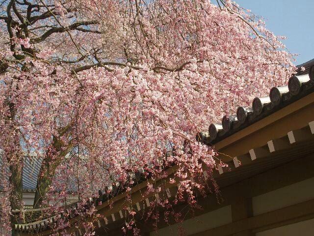 霊宝館の北にある桜、一周してみた。