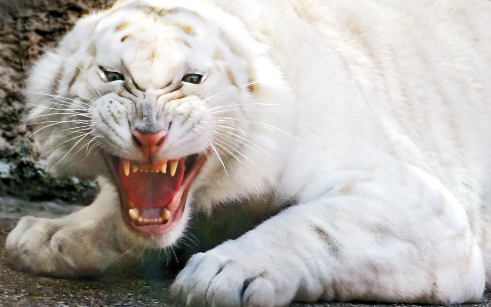 hd wallpapers white tiger hd wallpaper 1080p
