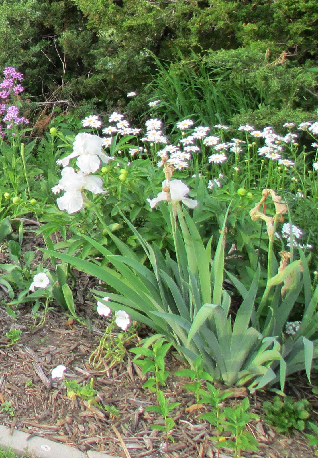Garden fancy the iris moment white irises immortality in the far white section of the rainbow border there are some white irises in the near white section too but they izmirmasajfo