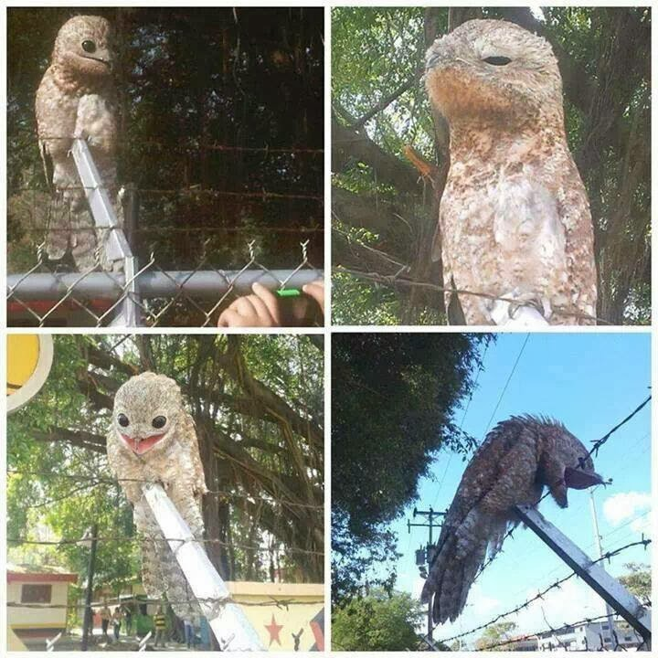 Funny animals of the week - 31 January 2014 (40 pics), a rare bird potoo perches in a fence in venezuela