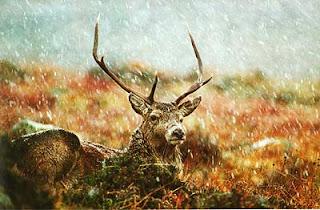 Красный олень Шотландия